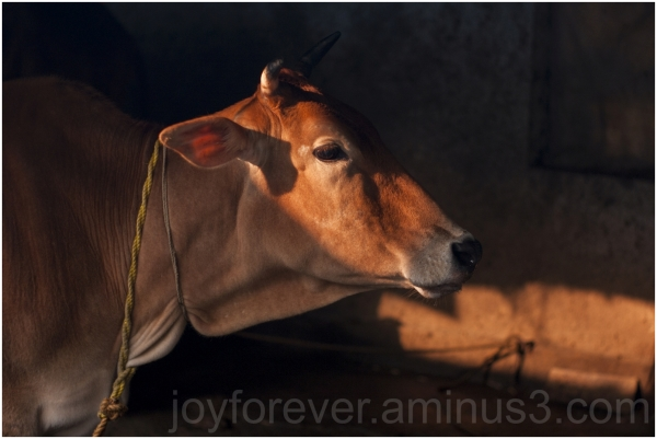 cow sunlight morning light cattle animal WB India