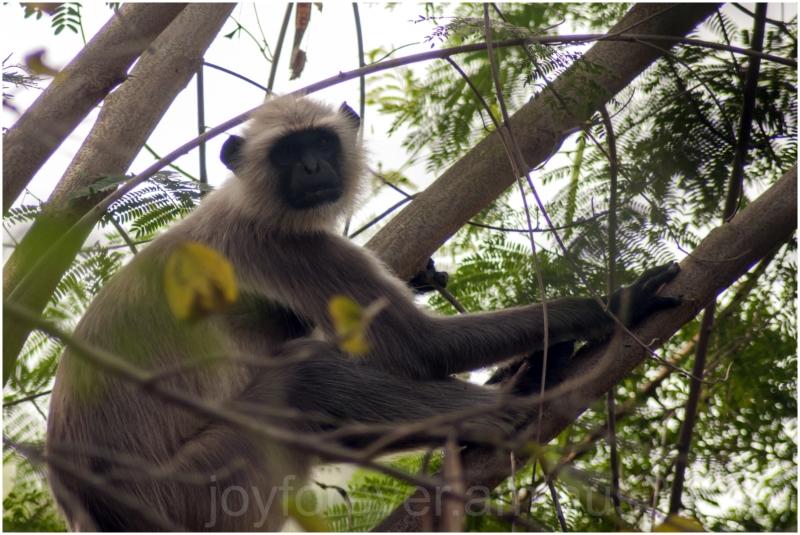 hanuman langur monkey animal primate tree India