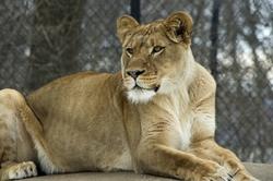 Lioness lion madison zoo winter animal
