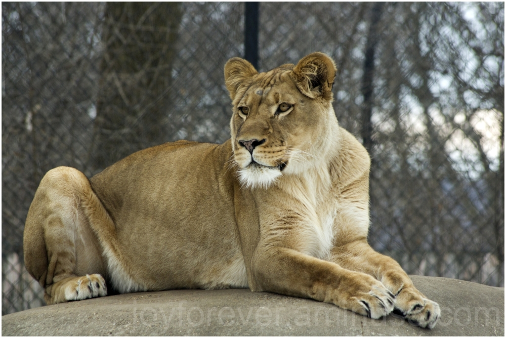 Lioness lion madison zoo winter animal