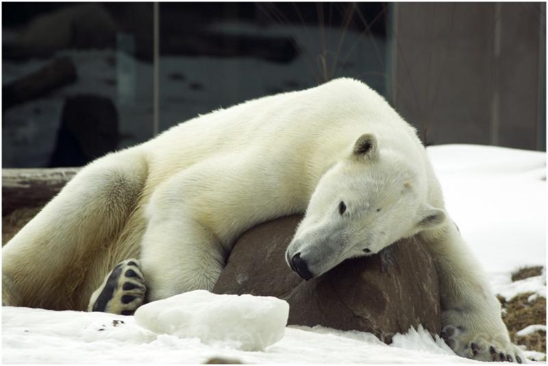 polarbear bear madison zoo snow winter animal rock