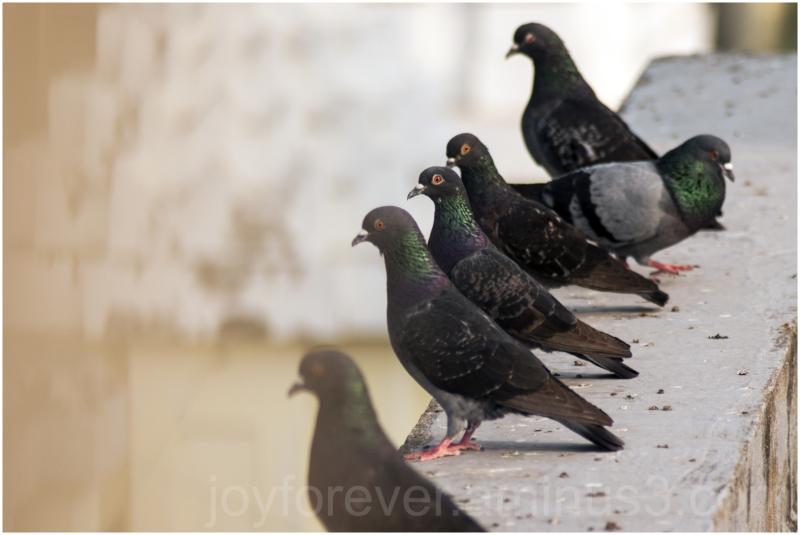 pigeon bird kolkata calcutta india roof city