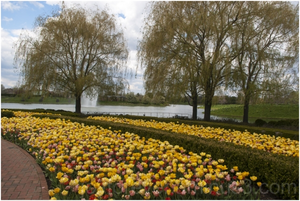 yellow tulips willow tree flower spring water