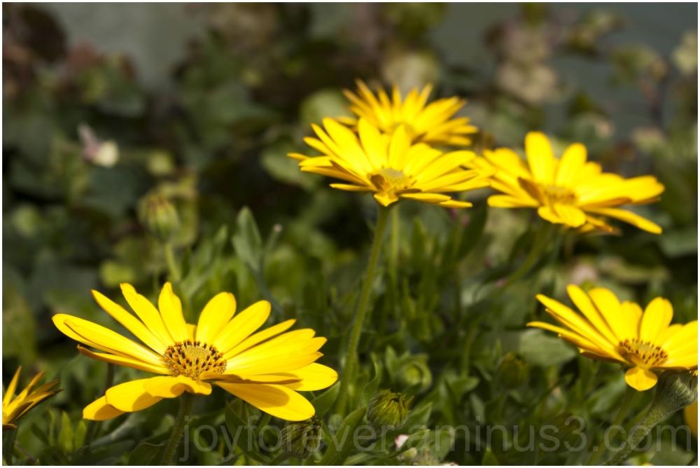 yellow flowers spring Chicago Botanic Garden