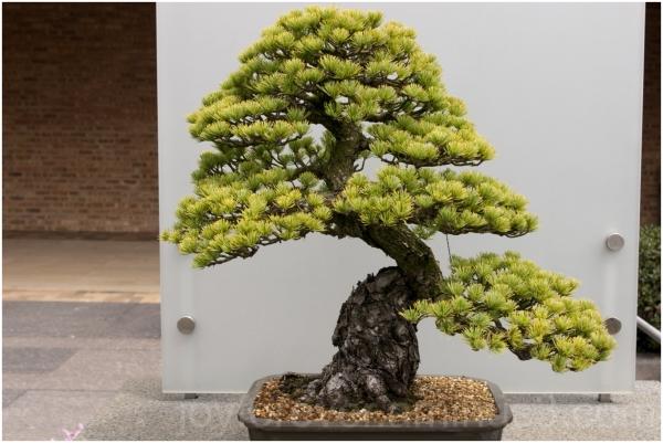 Bonsai tree plant Botanic garden Chicago