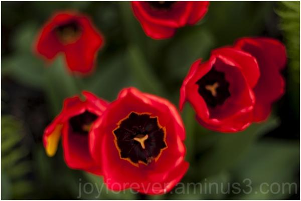 tulip red flower spring garden plant