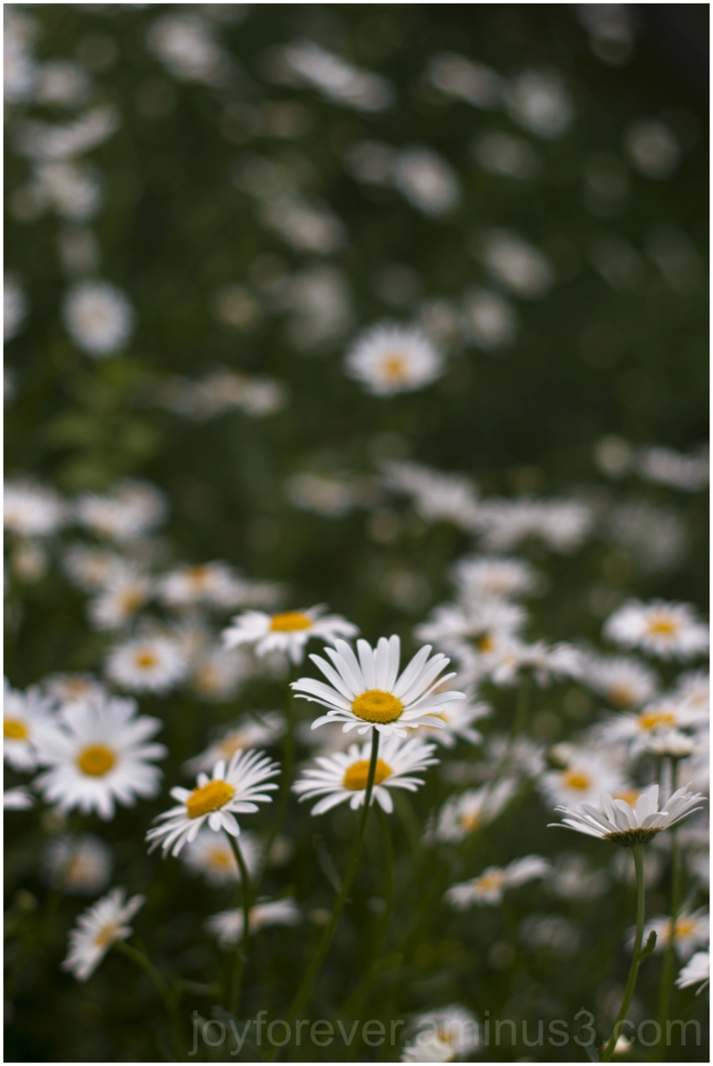 flower daisy white yellow spring summer plant
