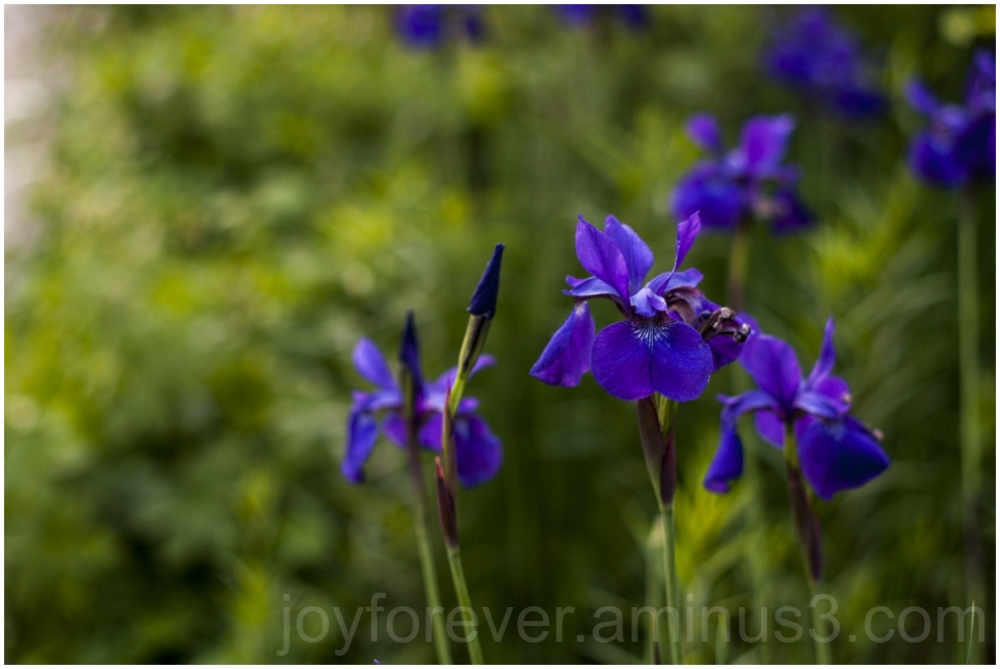 flower purple spring summer plant blossoms