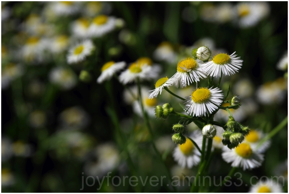 flower  fleabane white erigeron wildflower