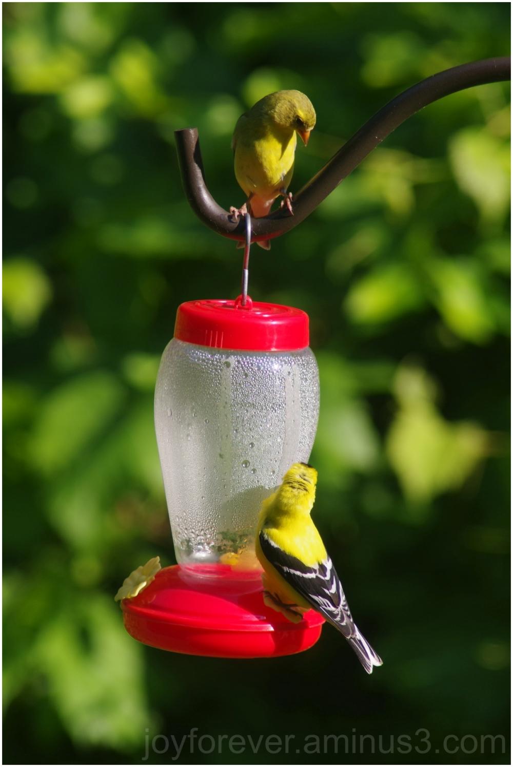bird yellow bird-feeder finch goldfinch wildlife