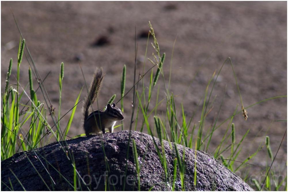Chipmunk squirrel rodent animal rocky-mountain nat