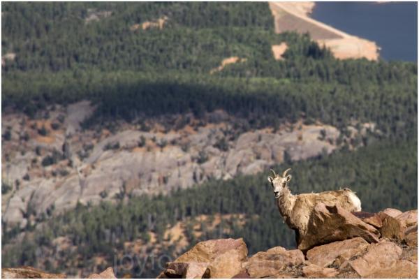 bighorn sheep pikes peak rocky mountain animal CO