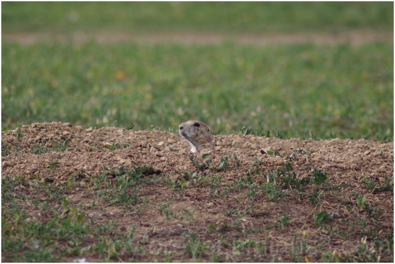 Prairie dog rodent animal denver colorado burrow