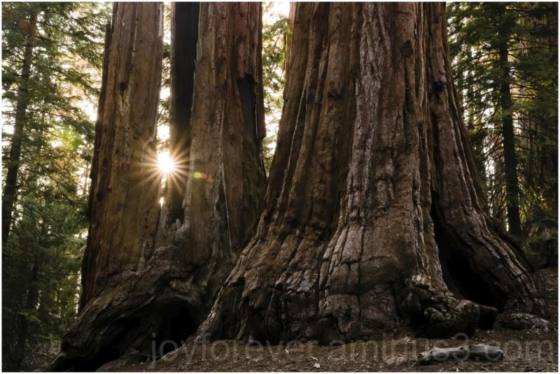 Giant Sequoia tree trunk stump sun KingsCanyon