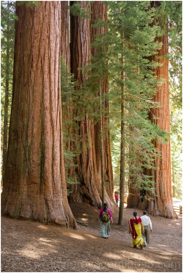 Giant Sequoia tree trunk NationalPark California