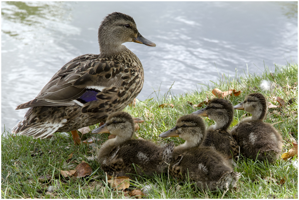 duck ducklings mother child bird pond water