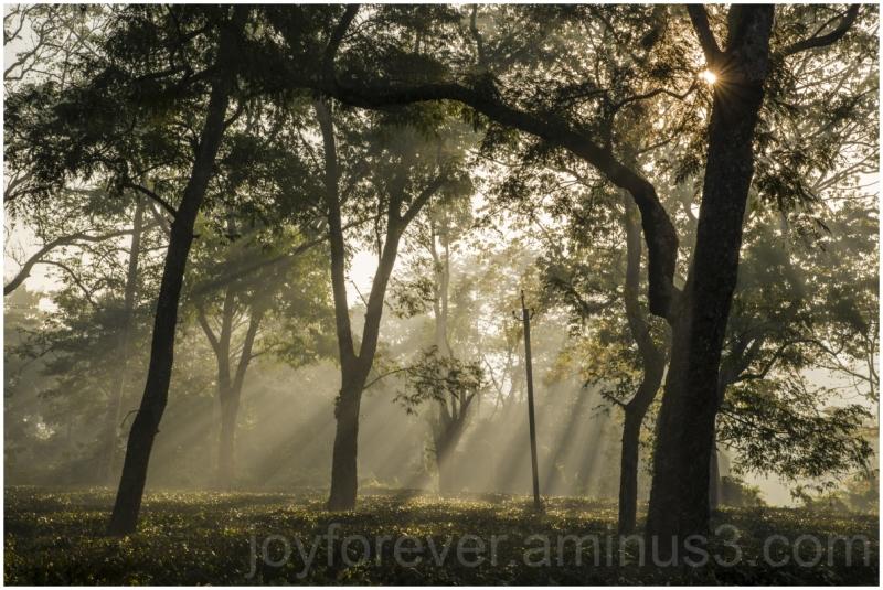 Tea Plant bush trees sunlight rays morning Assam