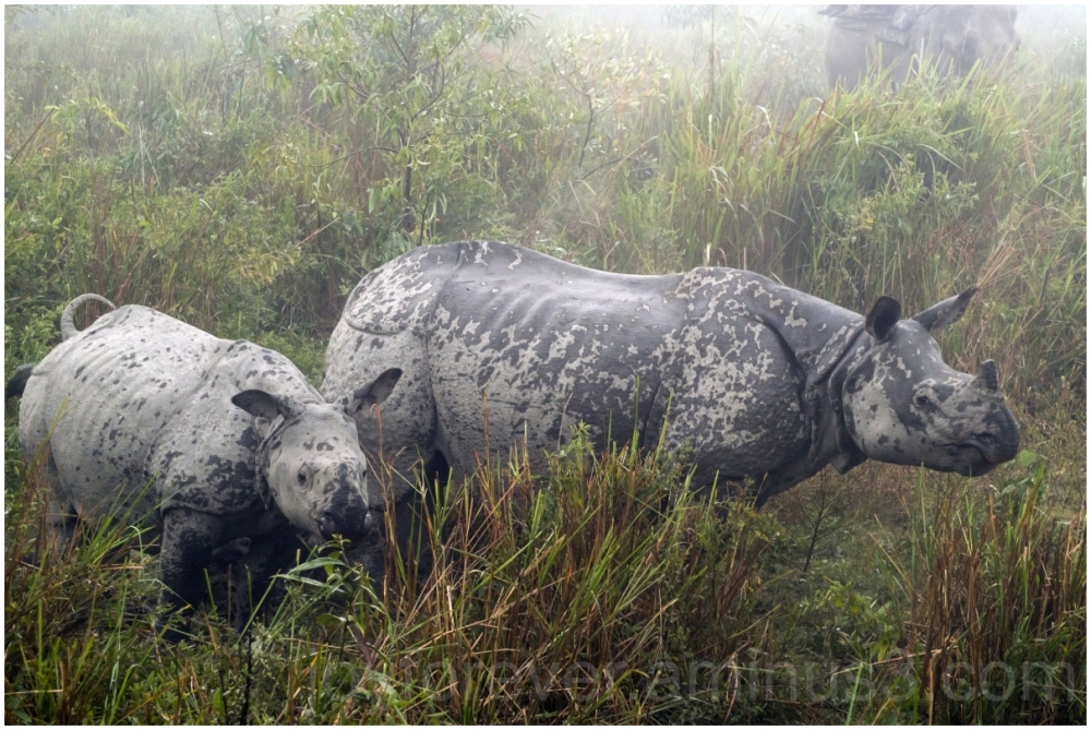 Elephant Safari Kaziranga assam India Rhino