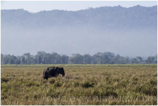 Elephant Jeep Safari Kaziranga assam India grass