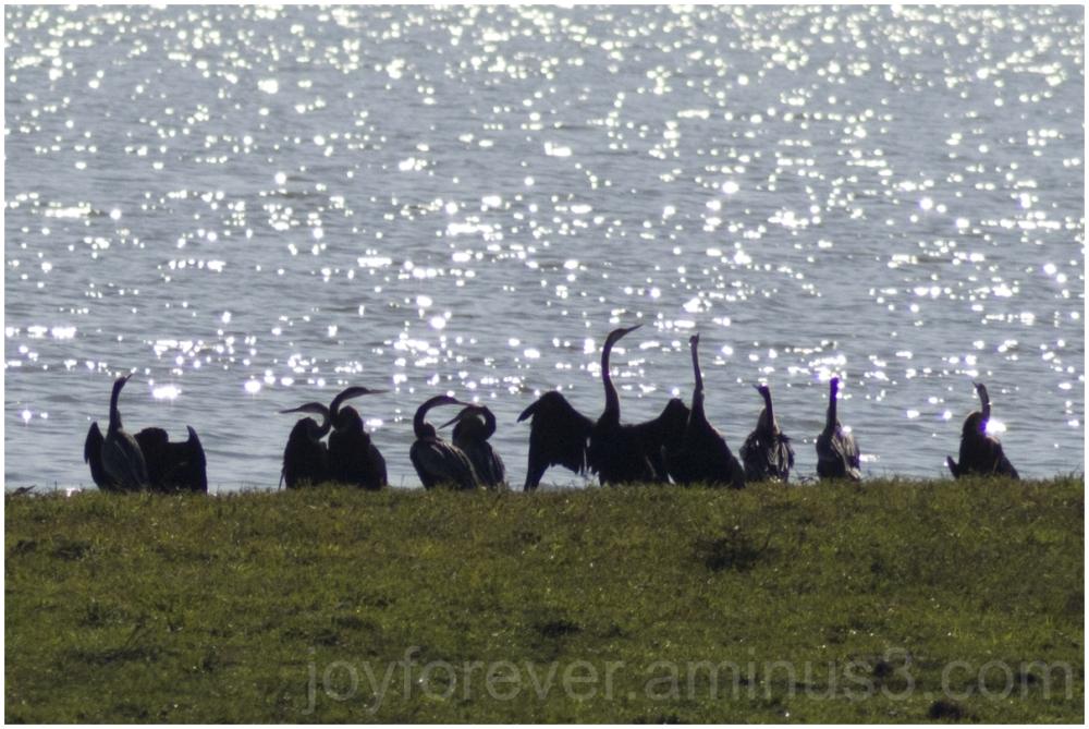 bird snakebird water silhouette kaziranga assam
