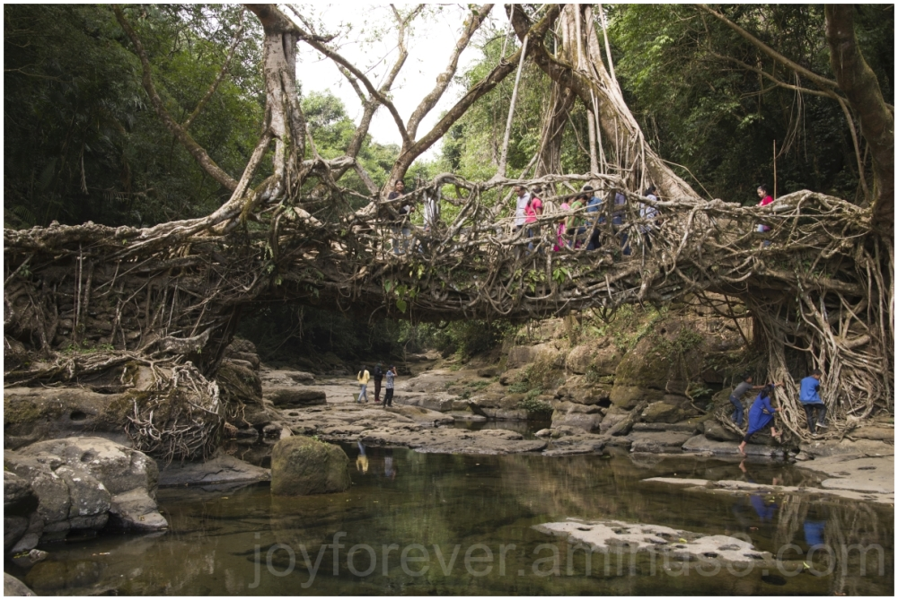 LivingRootBridge tree root bridge Meghalaya India