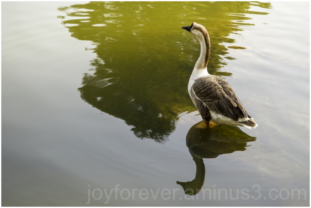 Goose duck swan bird lake pond Shillong India