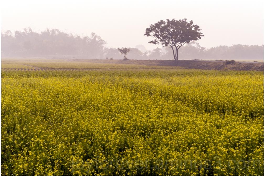 Bengal NewYear Bengali mustard flowers field tree