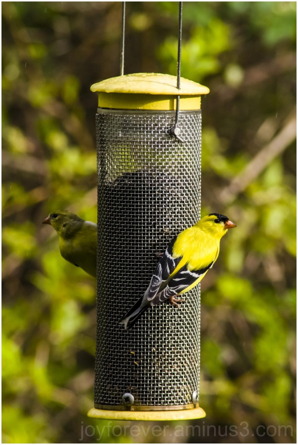 bird finch goldfinch feeder birdfeeder