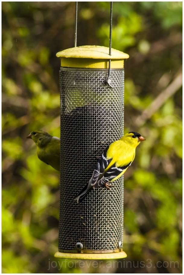 bird finch goldfinch feeder birdfeeder