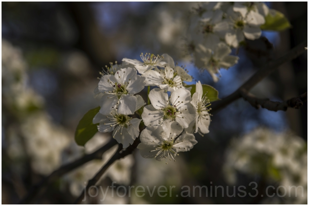 Spring blossoms flowers tree macro