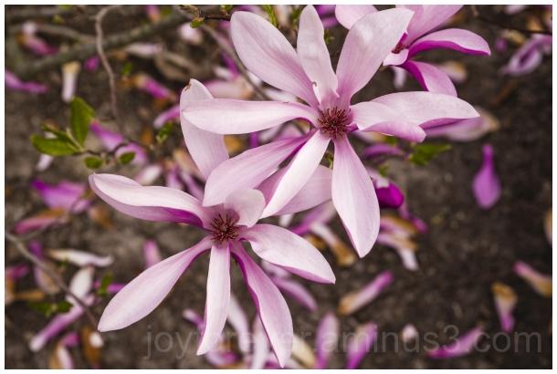 Magnolia pink flower spring plant