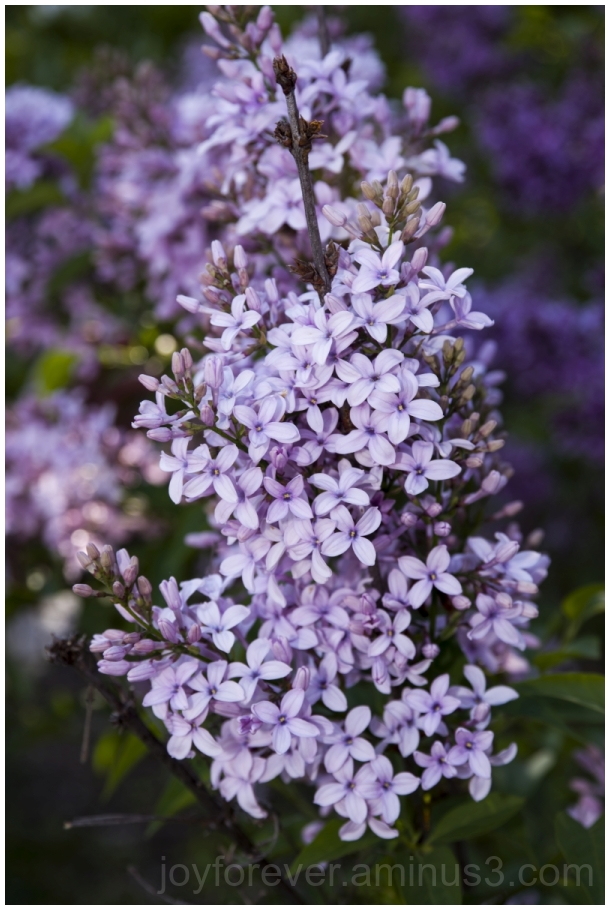 lilacs violet purple flowers spring plants