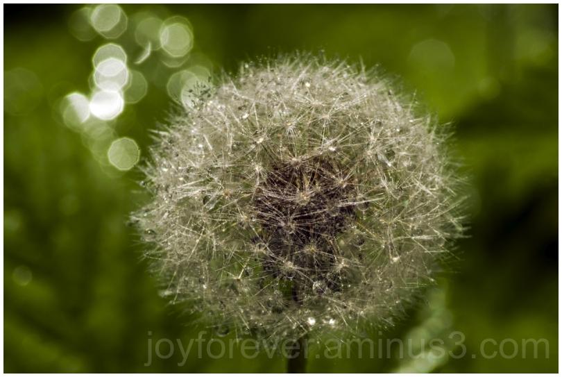 dandelion water drops macro spray closeup plant
