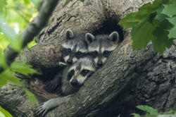 raccoon animal nest tree hole wildlife family
