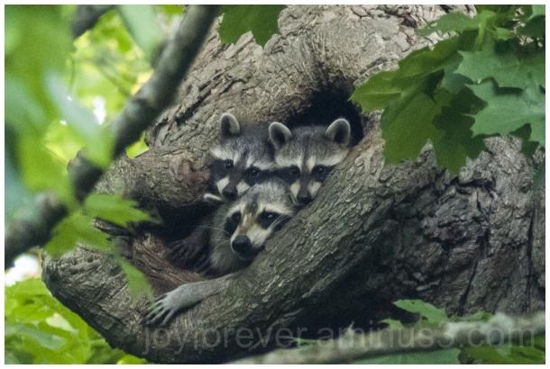 raccoon animal nest tree hole wildlife family