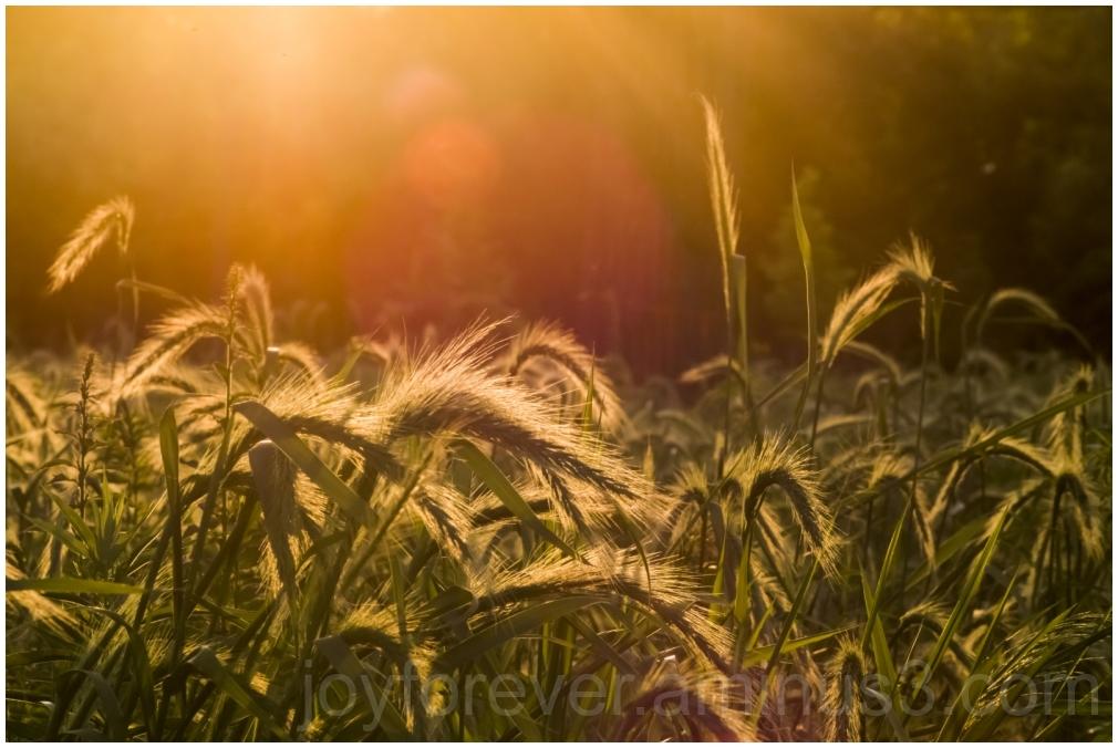 prairie grassland summer evening flare plants LFC
