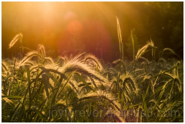 prairie grassland summer evening flare plants LFC