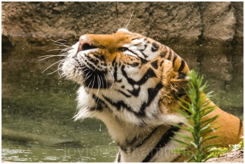 zoo tiger cat water drops shake chicago dry IL