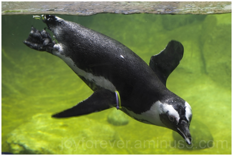 African Penguin water underwater bird Zoo