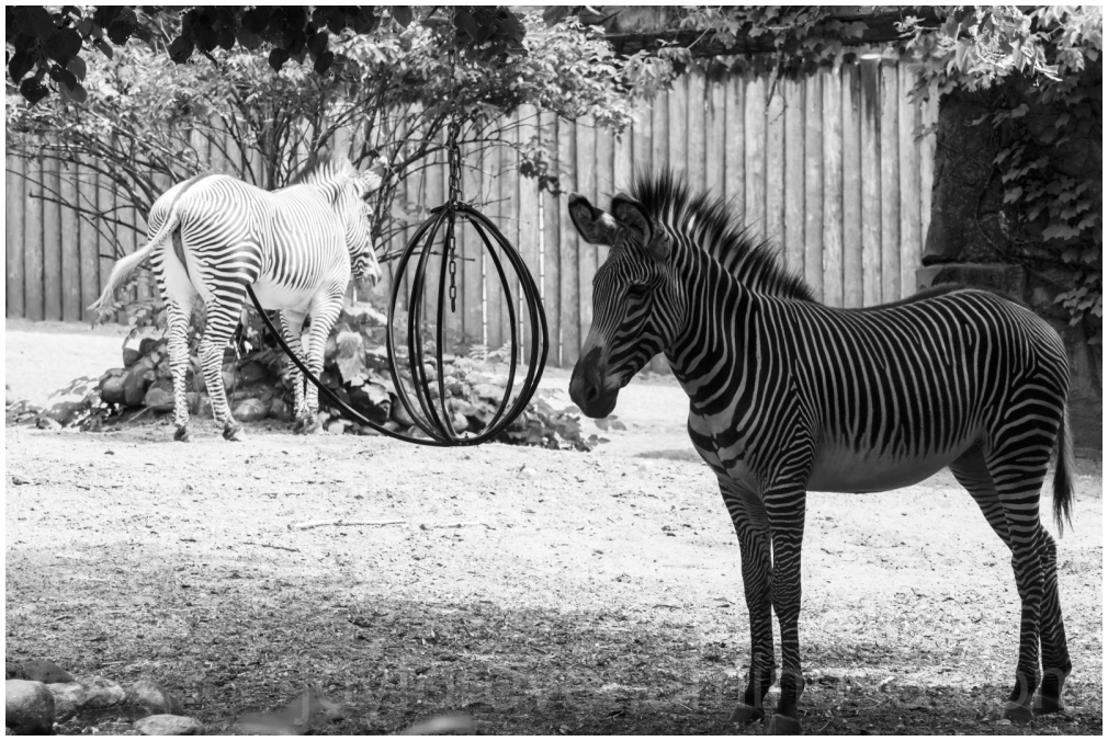 Zebra zoo black&white sunlight shade animal