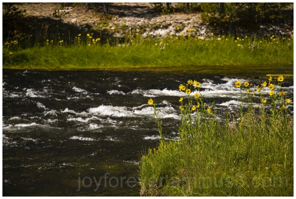 firehole river water Yellowstone Sunflower