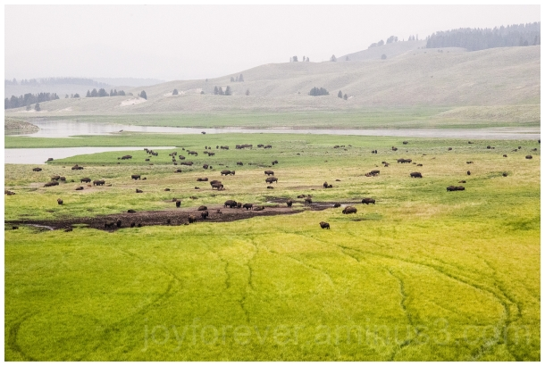 bison buffalo animal Yellowstone NationalPark WY