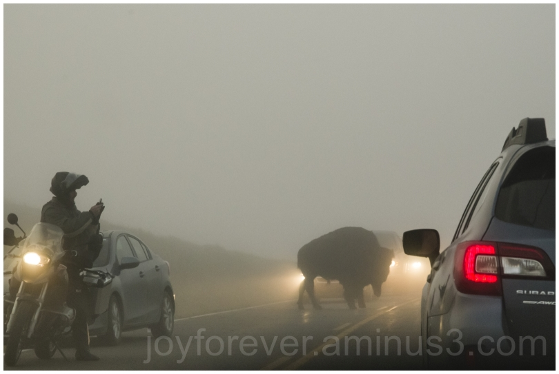 bison buffalo animal Yellowstone NationalPark fog