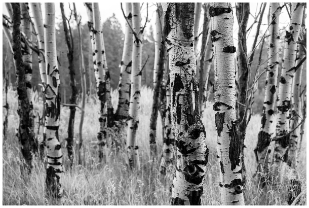 trees Aspen trunks GrandTeoton B&W WY