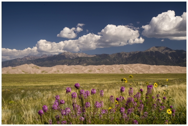 flowers desert sanddunes GreatSandDunes Colorado