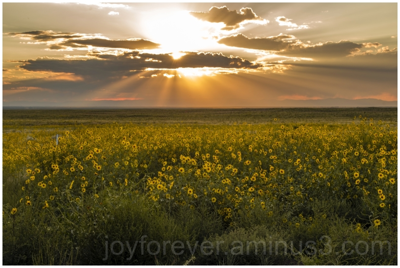 sunflowers sunset yellow flowers sun clouds CO