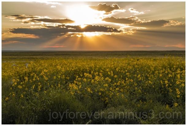 sunflowers sunset yellow flowers sun clouds CO