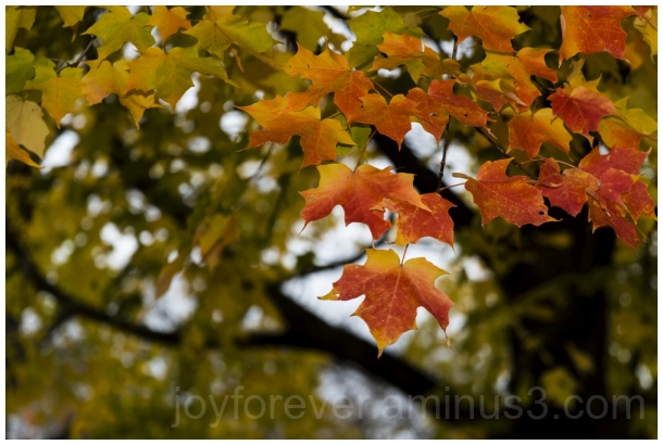 fall foliage maple leaves tree autumn