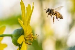 bee honeybee macro flying flower sunflower insect