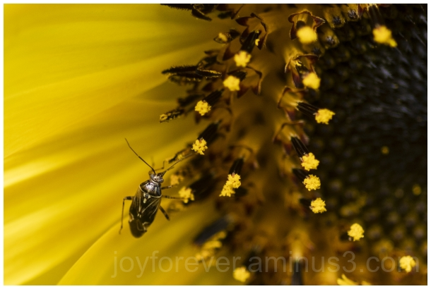 sunflower yellow flower insect macro